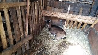 Наши свиньи в загоне. Как дела у козы.
