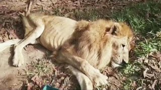 Abused Circus Lion Get a Chance at a New Life