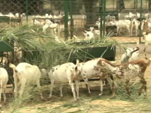 खेत खलिहान - उन्नत बकरी पालनAdvanced goatery