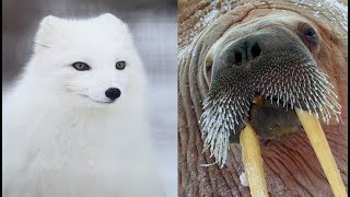 Types of Arctic Animals