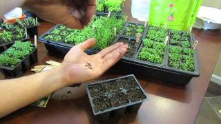 MFG 2016: Planting Thyme a Perennial Herb Using the Over-Seeding Method: Start Early!
