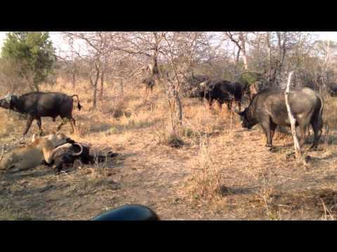 INCREDIBILE! LEONI VS BUFALI! MPUMALANGA RISERVA TORNYBUSH SUDAFRICA