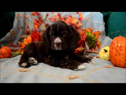 Chip AKC Chocolate Male Cocker Spaniel Puppy for sale.
