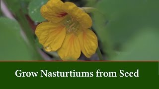 How to Grow Nasturtium from Seed