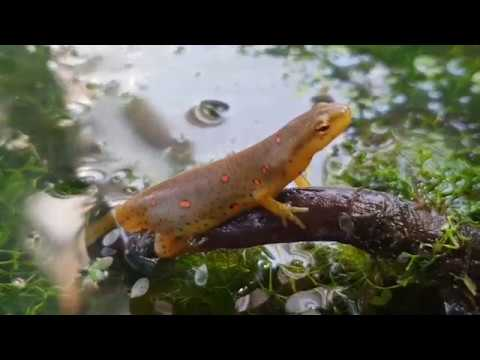 Eastern Newt Care Guide Part 1