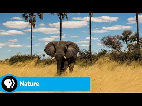 Official Preview   Limbo   Okavango: River of Dreams   NATURE   PBS