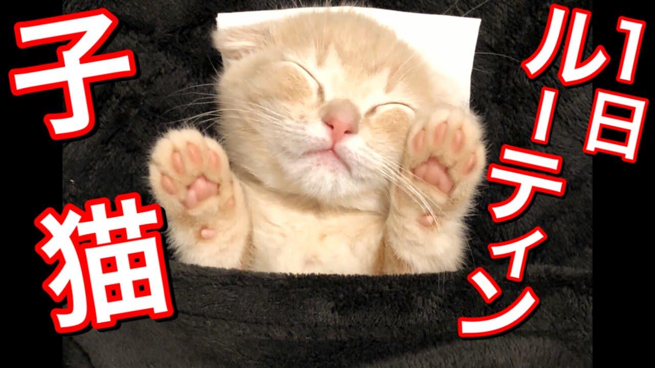 生後2か月の子猫の1日ルーティン【短足マンチカン】