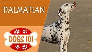 Dogs 101 - DALMATIAN - Top Dog Facts About The DALMATIAN