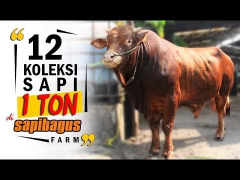 Sapi Limousin di Sapibagus Farm untuk Hewan Qurban