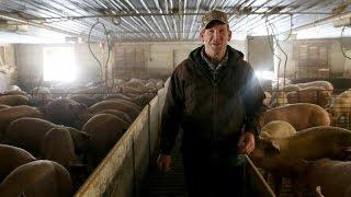 Raising Hogs on Contract