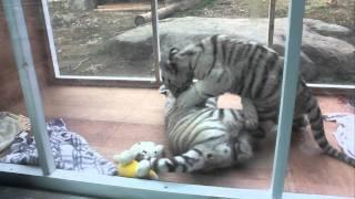 じゃれあうホワイトタイガーの赤ちゃん1