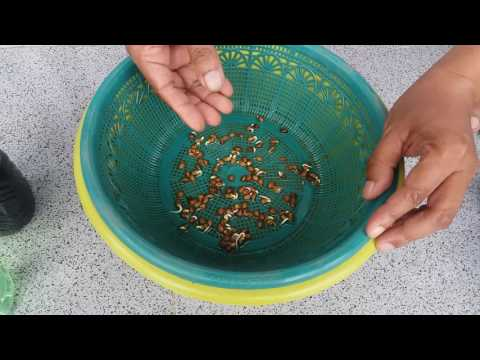 Video Cara menanam kangkung hidroponik