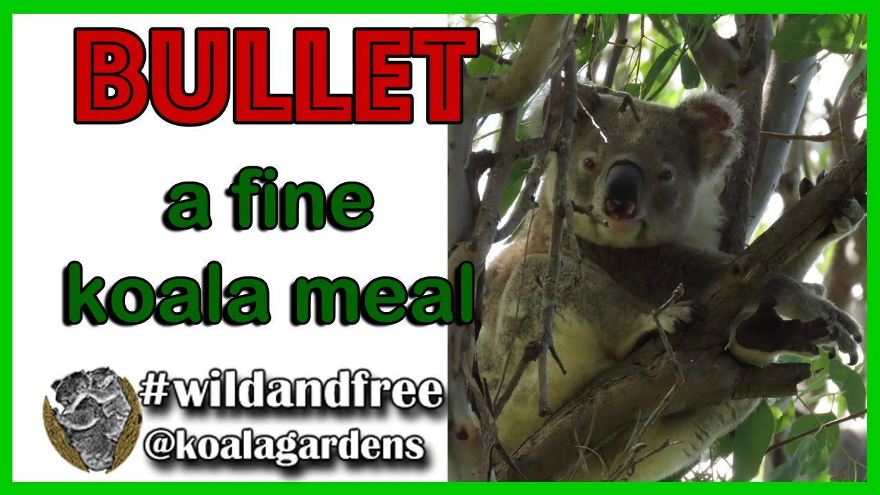 Bullet – another fine koala meal