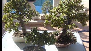Hacer un bonsái en pocos meses (portulacaria)