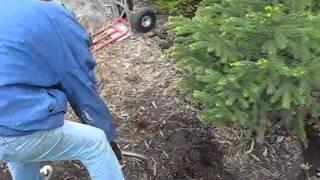 Evergreen Transplant - Wisconsin Garden Video Blog 110.avi