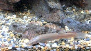 川でガサガサ絶滅危惧種のホトケドジョウヤマメやカジカも※カジカガエルの繁殖行動にも遭遇