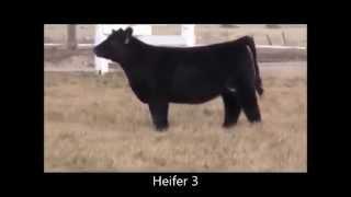 SHS Livestock Judging Bred Heifer 101.mp4
