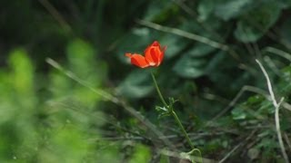 preview picture of video 'Royalty Free Stock Video Footage of a lone red flower in the breeze shot in Israel at 4k with Red.'