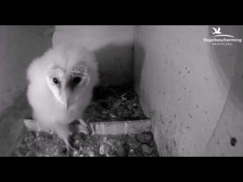 Barn Owl Chick Attacks Camera- 12.06.17