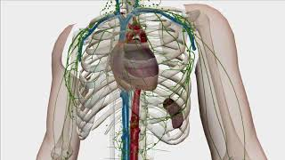 Lymphatic drainage associations- USMLE Review