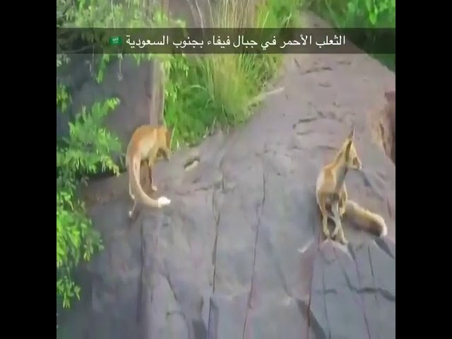 Video: Kawanan Rubah Merah di Pegunungan Saudi