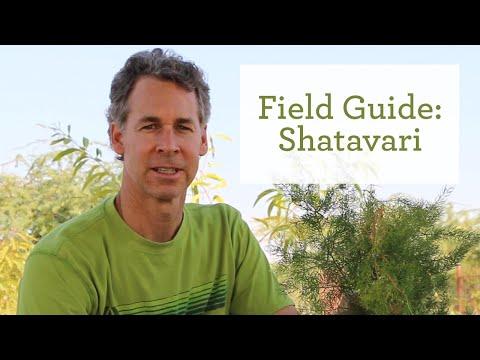 The Healing Benefits of the Ayurvedic Herb Shatavari