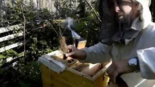Это вам не плюшевая карника... отбор мёда у самой злой пчелы на пасеке.