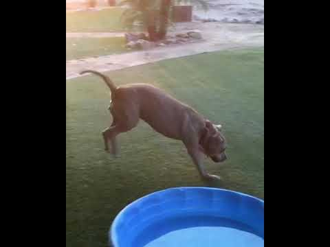 MISS DOLLY - happy video, an adopted Pit Bull Terrier & Terrier Mix in Marina Del Rey, CA_image-1