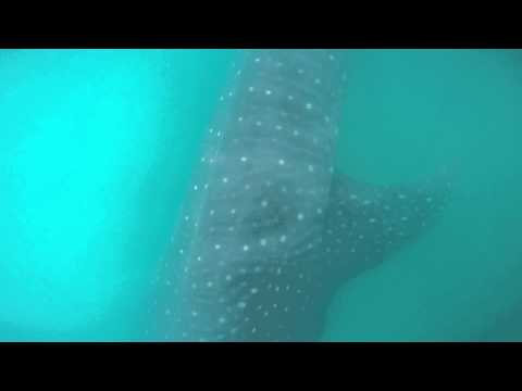 Swimming with Whale Sharks off Isla Holbox