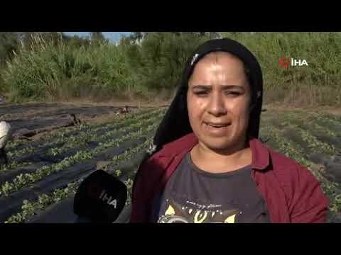 Antalya'da çilek üretimi için dikimler başladı