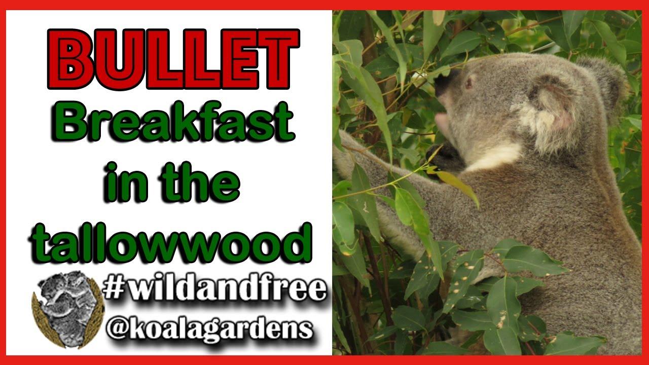 Bullet breakfasting on tallowwood