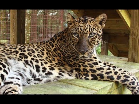 LIVE: Rescue Leopard Eating Snacks at Big Cat Rescue | The Dodo