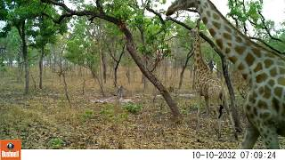 Giraffe caught on camera in Cameroon