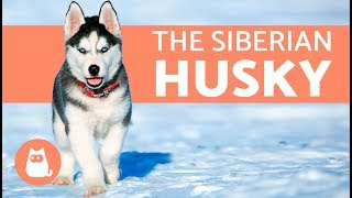 All About the Siberian Husky -  History and care