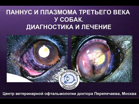 Паннус и плазмома третьего века у собак / Pannus and Plasmoma of the third eyelid in dogs