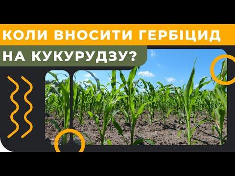 Когда вносить гербицид на кукурузу?