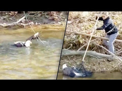 Rescuers Rush to Save Injured Bald Eagle in Creek Before It Gets Swept Away
