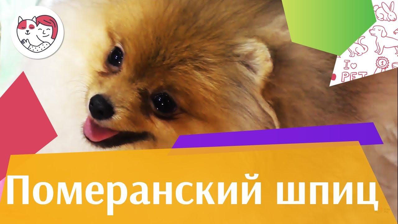 Померанский шпиц на ilike.pet