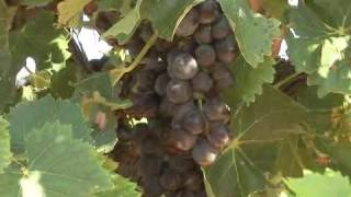 Grape Expectations - Texas Wine Industry