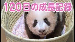 シャンシャン誕生から120日までの成長記録上野動物園の赤ちゃんパンダ香香
