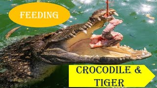 Feeding the Crocodile and Tiger/Sriracha Tiger Zoo/Pattaya