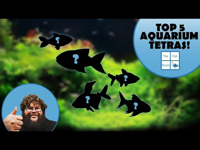My top 5 Tetra species for your aquarium