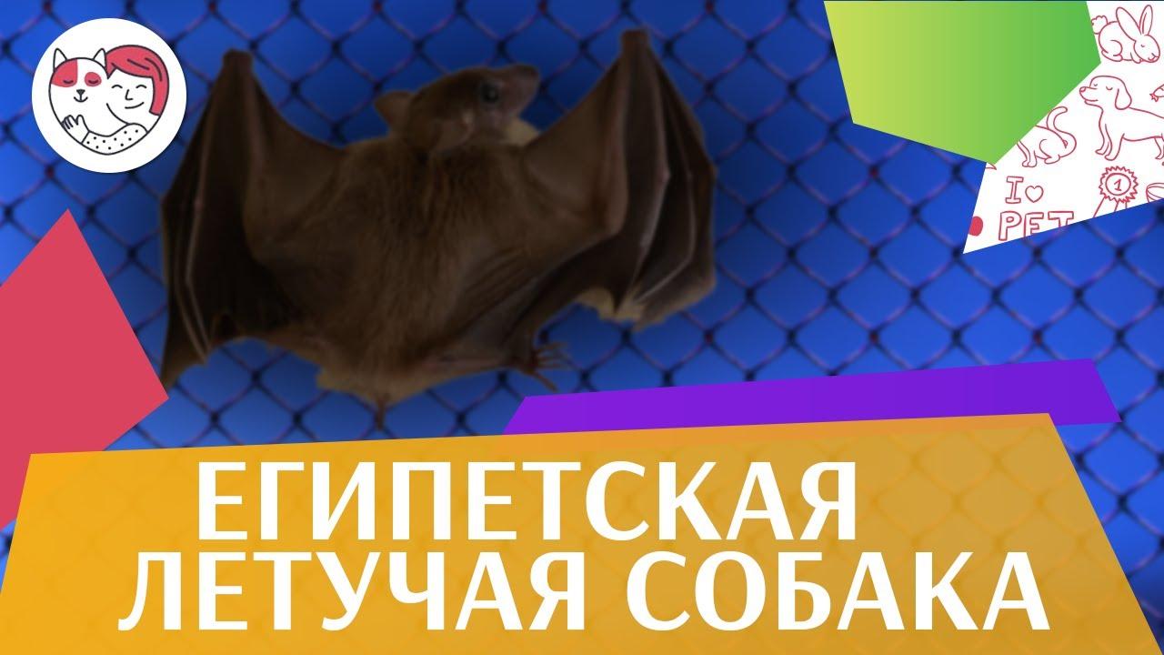 Египетская летучая собака Образ жизни на ilikepet