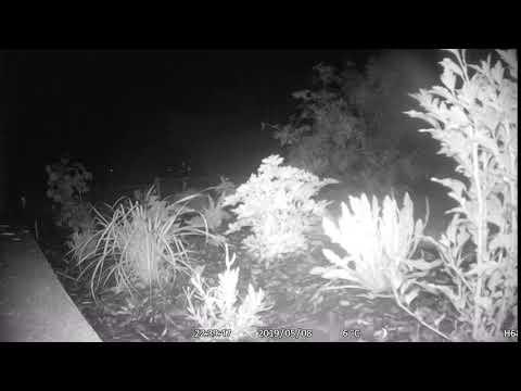 Marder liebt Lavendel im Garten