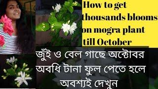Get huge amount of jasmine on your plant till October #mogra #jasmine #soumgardening (with eng sub)