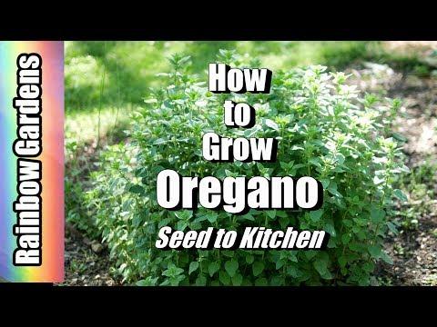 Oregano Seeds in Pakistan