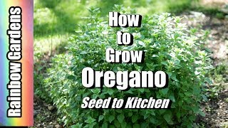 How to Grow Oregano, Seed to Kitchen, Super Easy to Grow and Delish!