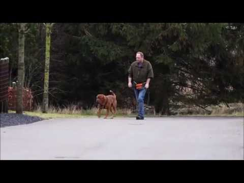 Loose Leash Walking - Does A Harness Teach A Dog To Pull?