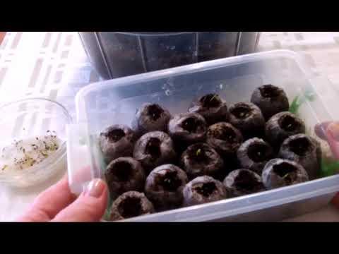 Посев семян с опережением.Платикодон
