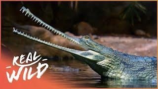 Crocodile Blues [Romulus Whitaker Documentary] | Wild Things
